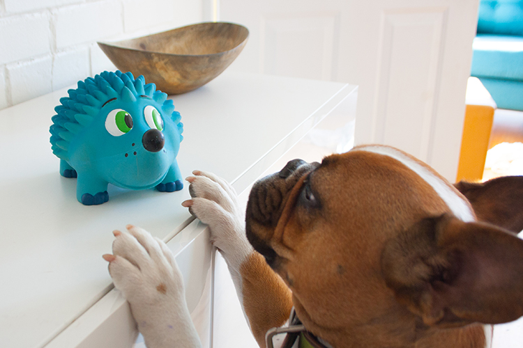 frech bulldog getting squeaky toy