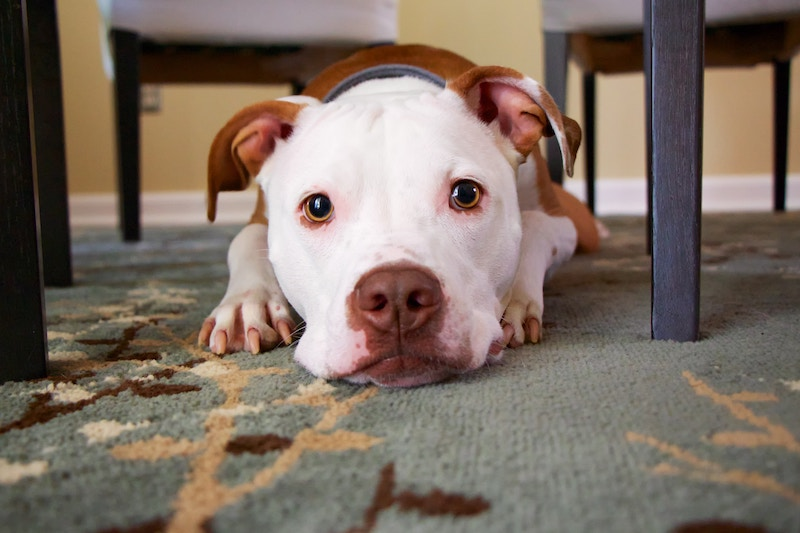 Dog laying on rug under table