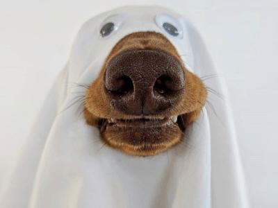 brown dog wearing sheet as ghost costume