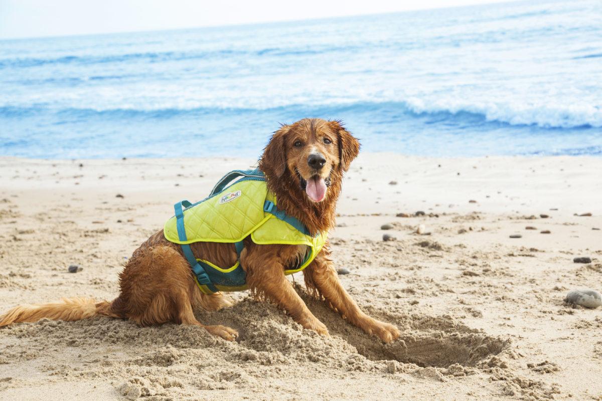standley dog life jacket on a golden retriever