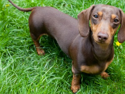 the best toys for dachshunds