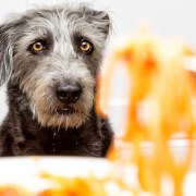 can dogs have spaghetti sauce