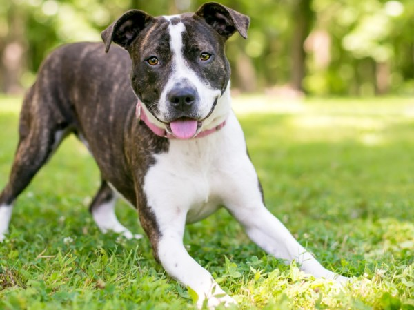 a dog doing a play bow. pitbull awareness monthhow to read dog body language