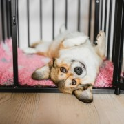 crate training a new puppy corgi