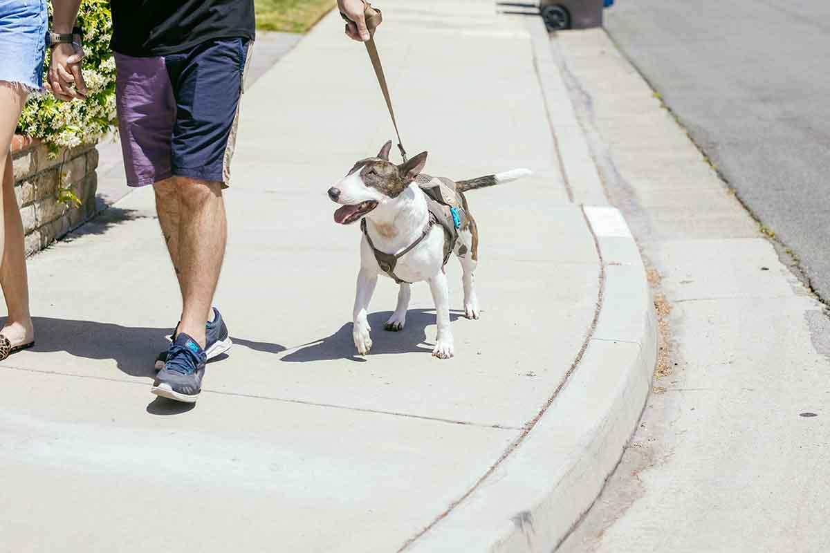 dog on a walk wearing a dog pack