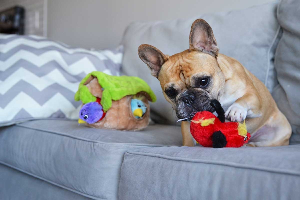 frenchie playing with hide-a-bird dog toy