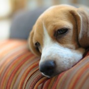 a sleepy beagle on the couch. can dogs have depression?