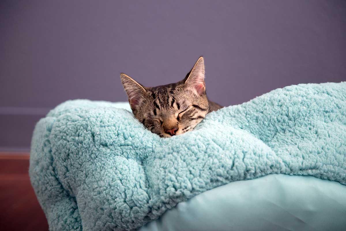 cat snuggling in blanket