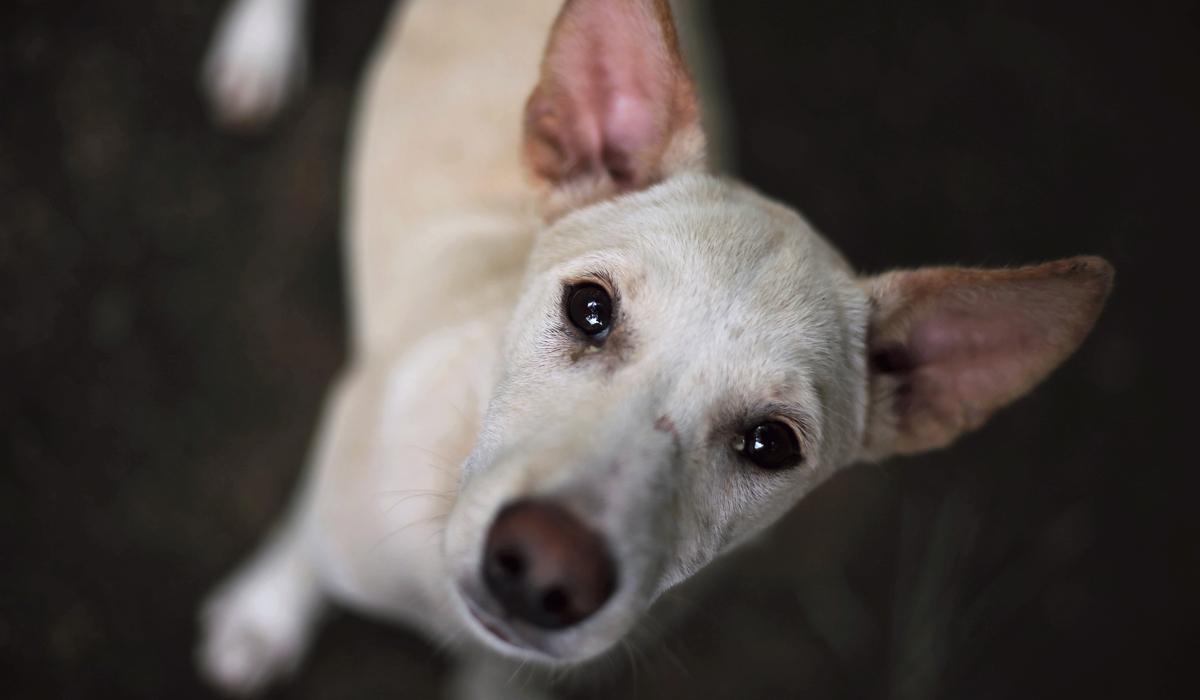 dog tear stain