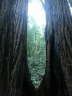 Muir Woods, very old redwood trees in California. Muir Woods, les séquoias anciens de Californie.