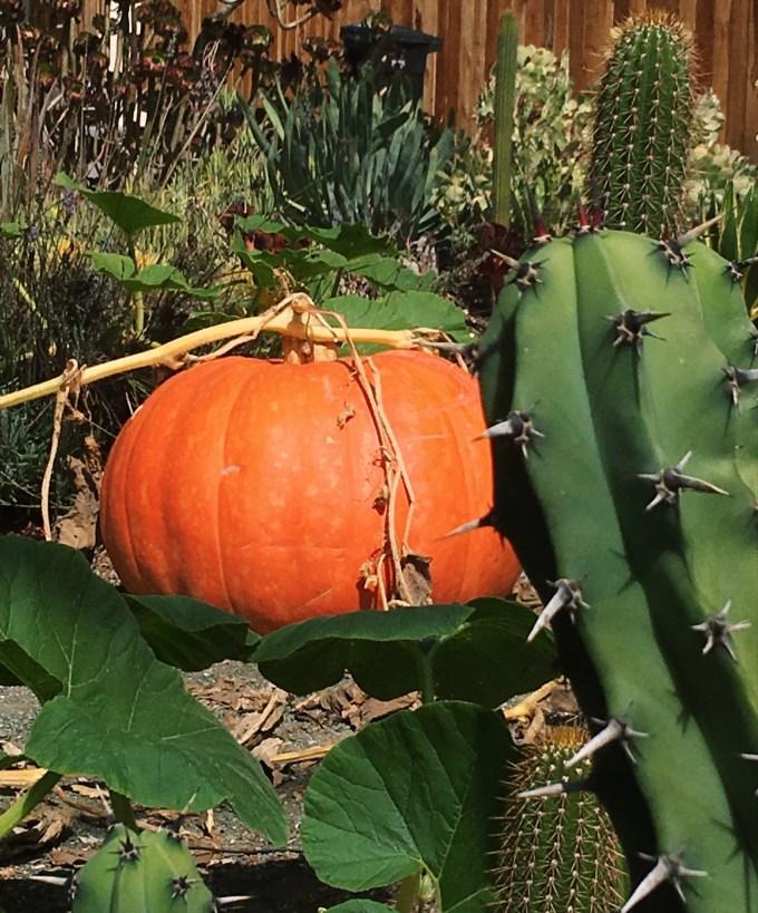 pumpkin, pumpkin patch, fall, Halloween