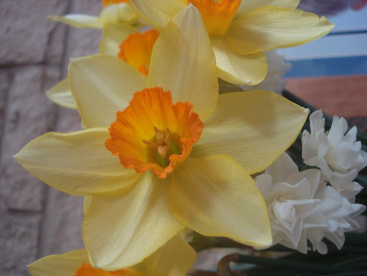 Daffodils - My Mother's Day flowers at their best