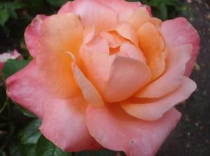 Everywhere Roses