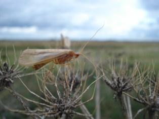 Caddis-fly