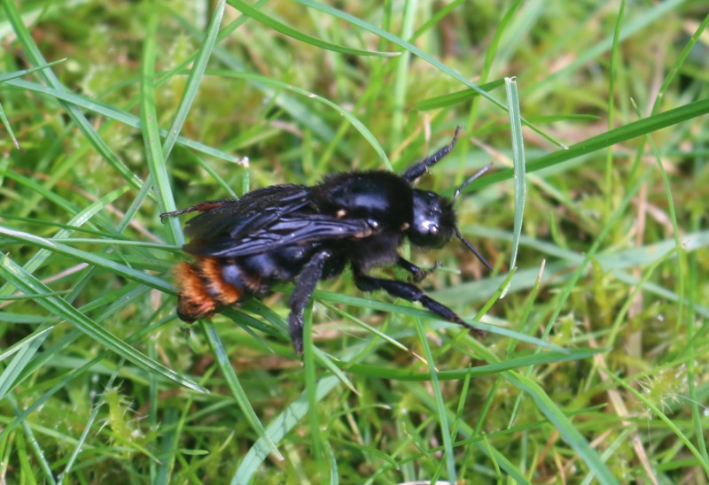 Queen Red Tailed Bumble Bee