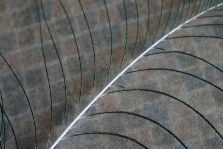 birds-of-a-feather-silent-sunday-my-sunday-photo peacock feather
