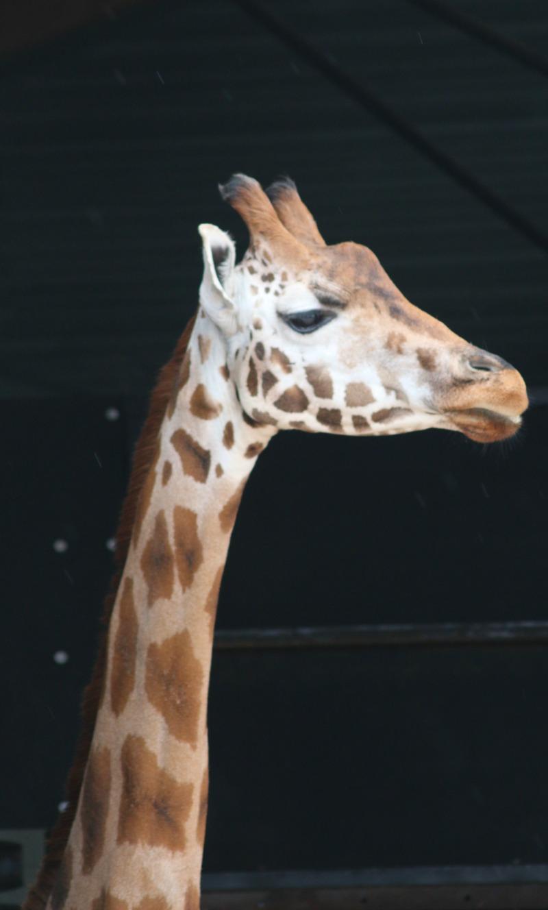 Enjoying Marwell Zoo and the Great Bricks Safari