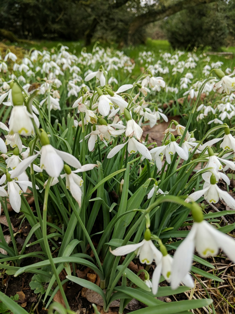 Snowdrops at Mottisfont