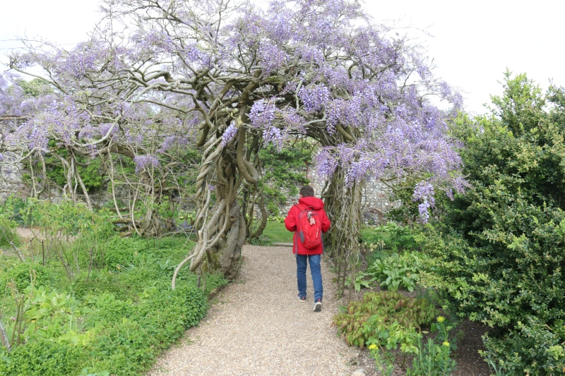 Wisteria hunting at Greys Court