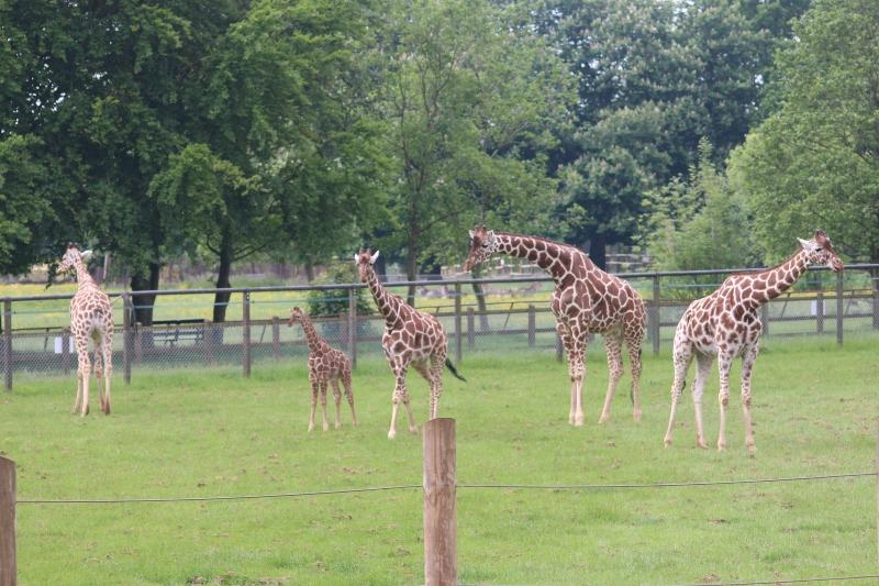 giraffes at Whipsnade Zoo