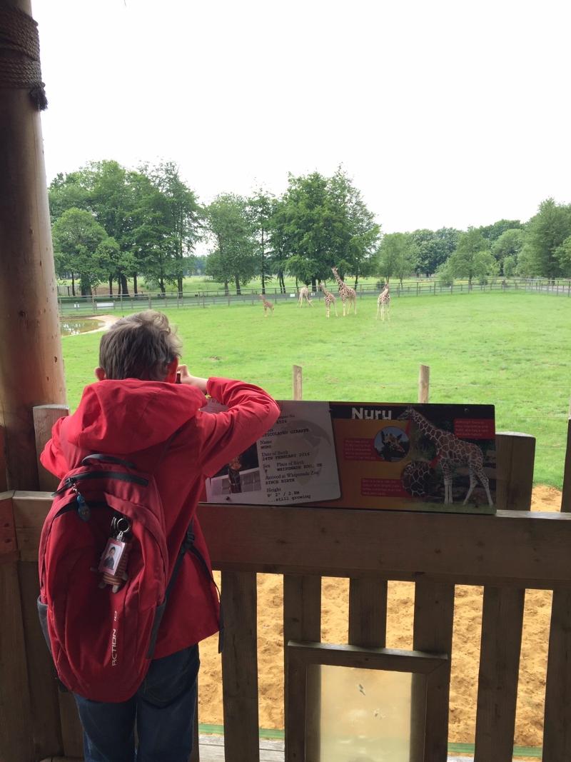 Seeing a baby giraffe at ZSL Whipsnade Zoo