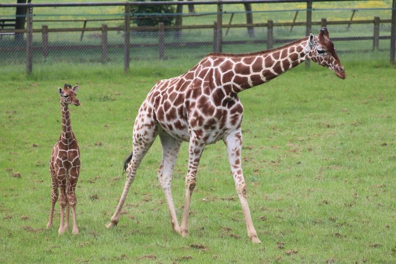 Khari giraffe