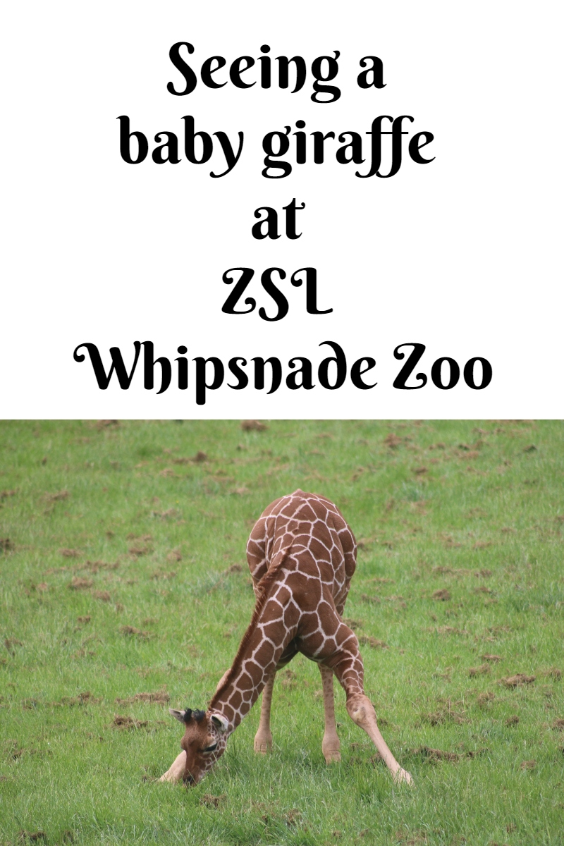 Seeing a baby giraffe at ZSL Whipsnade Zoo
