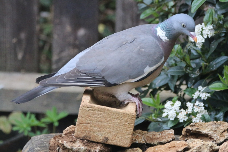 Wood pigeon perching on a brick
