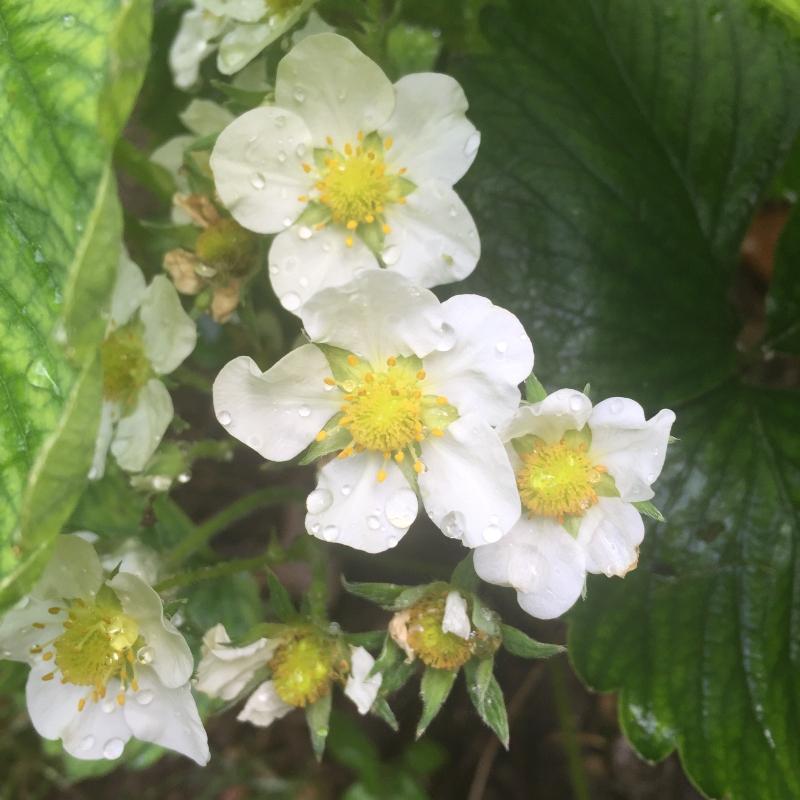 Strawberry flowers