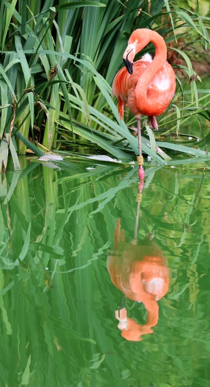 Flamingo at Whipsnade Zoo