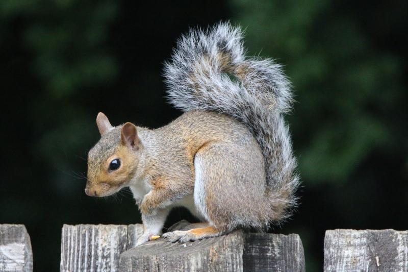 Juvenile Grey Squirrel