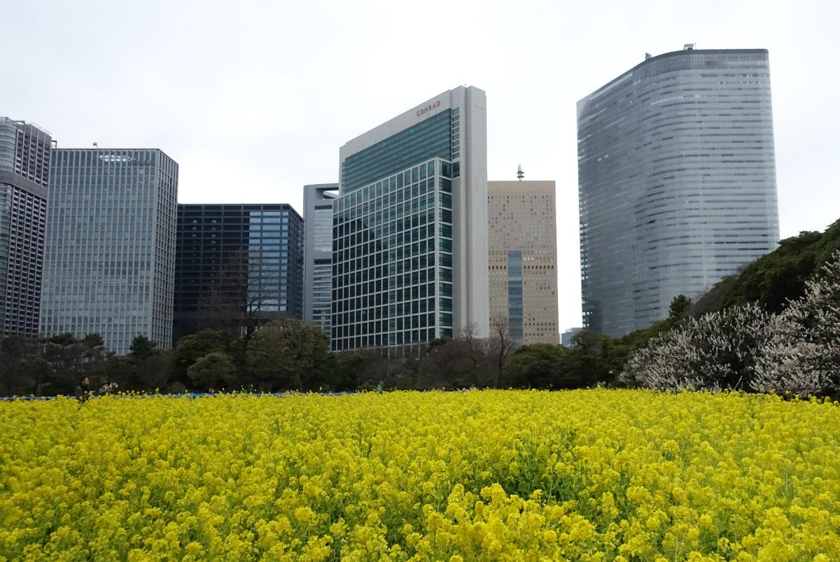 東京 浜離宮恩賜庭園 菜の花とビル