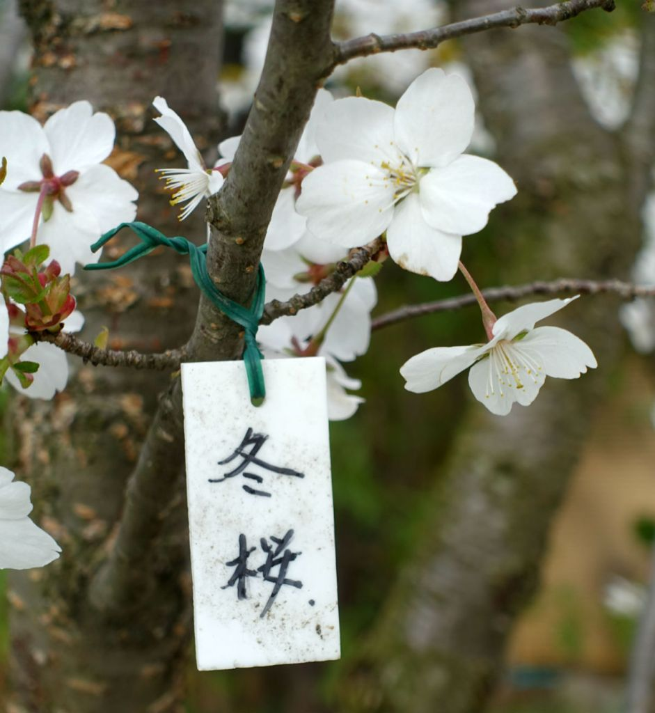 小樽 宏楽園 庭の冬桜