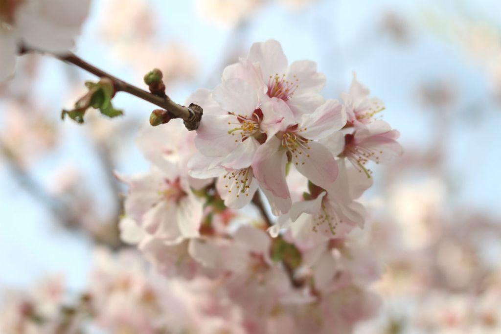 小樽 宏楽園 桜並木の桜の拡大