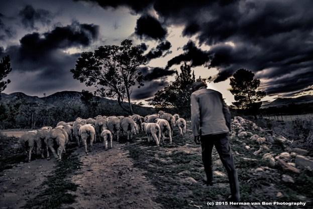 herding-sheep
