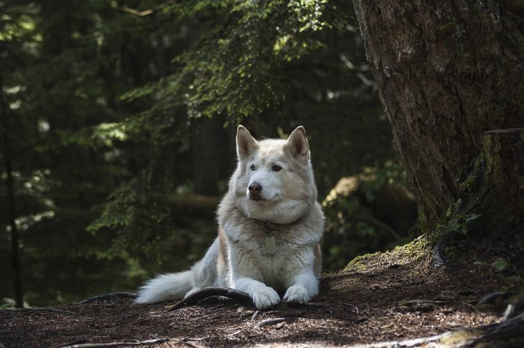 husky in bos