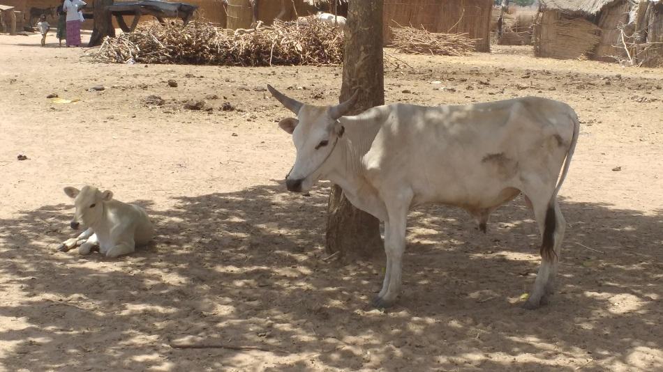 koeien gambia