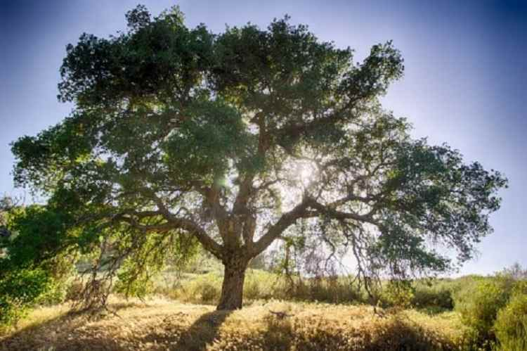 Picture of the Oak Tree
