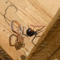 Black Widow on Bucket Trap Cover