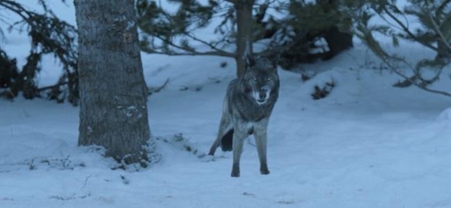 wolf-23005