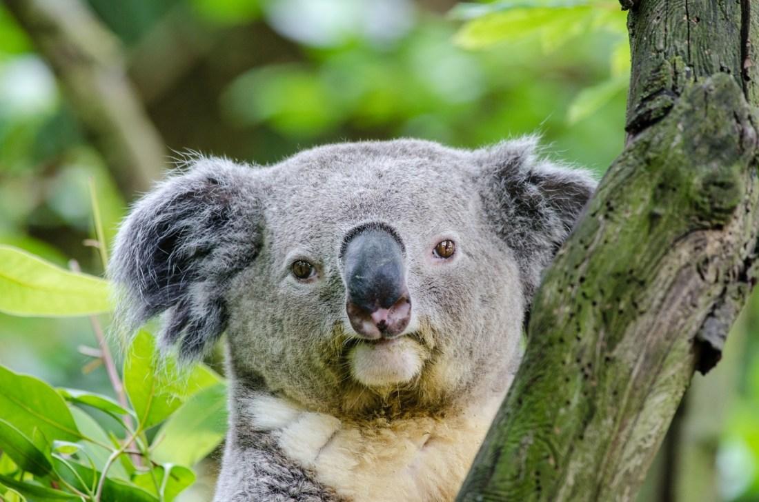koala-bear-1499196677Ke1