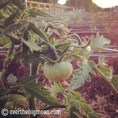 Using Essential Oils in the Yard & Garden