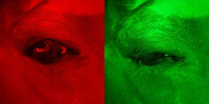 Horse's eye open under red light on left, squinting under green light on right
