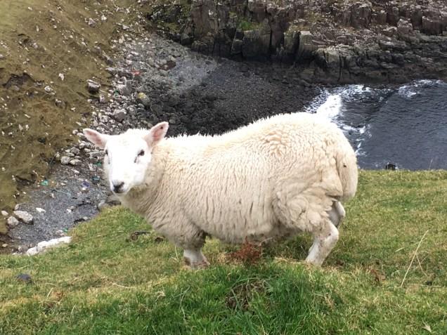 Baby sheep at Neist Point, Isle of Skye, Scotland