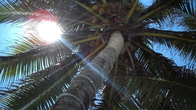 Palm Tree on Akumal Beach