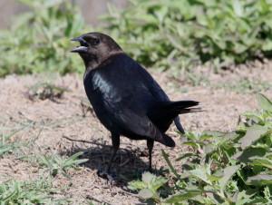 Brown-headed Cowbird (4)