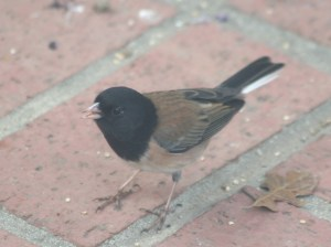 Dark-eyed Junco 5