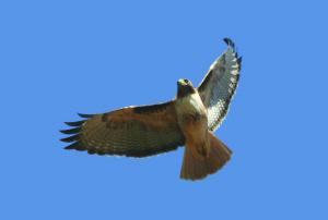 Red Tail Hawk Fl 3