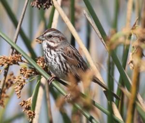 Song Sparrow 10 (2)