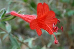 fuchsiaflower